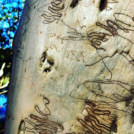 scribbly-gum